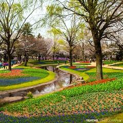Showa Kinen Park / Tokyo, Japan (yameme) Tags: travel flowers nature japan canon eos tokyo  sakura cherryblossoms    tachikawa     showakinenpark 24105mmlis 5dmarkii 5d2