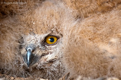 Young Eagle Owl    (Najim J. Almisbah) Tags: eagle young owl