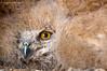 Young Eagle Owl فرخ البومة النسرية (Najim J. Almisbah) Tags: eagle young owl فرخ البومة النسرية