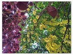 Treesome :) (Willem van Velzen) Tags: plants tree colors garden golden backyard random cellphone samsung note galaxy tuin van alkmaar hazelnut telefoon willem reign achtertuin treesome kleur goudenregen velzen hazelnoot hoppa willemvanvelzen samsunggalaxynote flickrandroidapp:filter=none