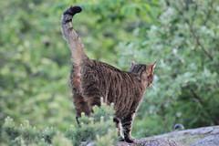 (frettir) Tags: cat katt ngby