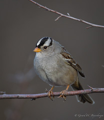 White-crowned Sparrow (Turk Images) Tags: arizona birds whitecrownedsparrow zonotrichialeucophrys emberizidae specanimal avianexcellence wcsp birdperfect