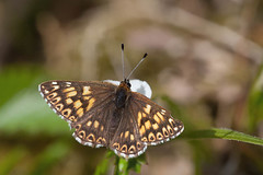DUKE OF BURGUNDY 2012 #3 (GOLDENORFE) Tags: macro butterfly insect dukeofburgundy