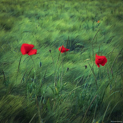 Poppies (Jean-Franois Chamberlan) Tags: red flower art nature fleur rouge colorful bokeh couleurs vert poppies pavot coquelicots 500500 fujifilmx10 fujix10
