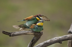 Mating Bee-Eaters (frankps) Tags: hungary meropsapiaster europeanbeeeater beeeaters bienenfresser bijeneter gyurgyalag pusztaszer gupierdeurope hidephotography bietere