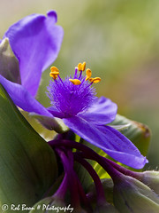 20120602_9958_Eendagsbloem (Rob_Boon) Tags: plant flower macro garden purple bokeh tuin spiderwort wijlre eendagsbloem robboon persephonesgarden purplespiderweort