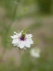 Nigella (Polotaro) Tags: flower nature pen olympus   zuiko nigella ep1   fantasticflower  gzuiko50mmf14