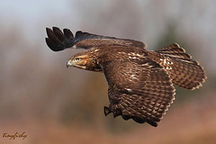 The Most Common Hawk In North America (Ontario) (tinyfishy (Home again)) Tags: red ontario canada bird flying inflight hawk flight most raptor common tailed redtailedhawk