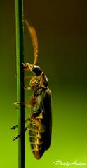 The Climber (AlexanderArntsen now over 400.000 views) Tags: light wild summer macro green nature beauty grass animal closeup canon wonderful bug outdoors photography amazing fantastic wings sweden outdoor wildlife natur wing peaceful insects bugs sverige soe västerås enviroment närbild 1850mm thegalaxy natureswonder flickraward naturemasterclass eos1000d mygearandme ringexcellence blinkagain allnaturesparadise flickrstruereflection1 alexanderarntsen photobyarntsen