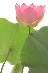 Pink Lotus flower  - IMG_5173-1000 (Bahman Farzad) Tags: pink flower yoga peace lotus relaxing peaceful meditation therapy