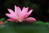 IMG_2978 (HL's Photo) Tags: flowers flower macro nature lily lotus 荷花 蓮花 macroflower