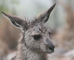 wet and bedraggled....... (loobyloo55) Tags: animal canon australia kangaroo nsw marsupial australianwildlife canoneos400d earthnaturelife allofnatureswildlifelevel1 highqualityanimals