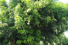 Mayon Volcano, Legazpi City, mangoes (George Gibbs) Tags: mangoes mayonvolcano legazpicity
