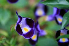 purple pansy abstract (loobyloo55) Tags: flower nature canon flora sydney australia nsw floraandfauna australianwildlife canoneos400d thebotanicalgardenssydney