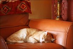 (K. Sawyer Photography) Tags: sleeping cat sleep tabby couch blanket