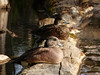 American Wigeon pair (annkelliott) Tags: canada male calgary bird nature water female creek duck spring outdoor pair alberta waterfowl sideview ornithology avian americanwigeon wigeon fishcreekpark anasamericana dabblingduck familyanatidae annkelliott ©allrightsreserved anneelliott sittingonlog fz200 fz2003 ©anneelliott2016 4may2016 bluishgraybillwithblacktip