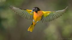 Icterus as Icarus (ER Post) Tags: bird us unitedstates michigan ravenna oriole baltimoreorioleicterusgalbula