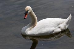 floating wildlife (brianficker) Tags: usa river pennsylvania wildlife nj newhope lambertville