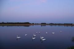 swan lake (JoannaRB2009) Tags: blue sky nature water birds landscape evening spring swan pond view poland polska swans lodzkie dzkie sarnw
