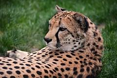 Relaxing Cheetah (Photography by Eric Hentze) Tags: wild eye nature face cat germany deutschland zoo nikon feline gesicht outdoor wildlife natur leipzig exotic bigcat cheetah schrfentiefe gepard exoticcat 2016 carnivora raubkatze zooleipzig tiefenschrfe chetah raubtier fleischfresser d7100 groskatze nikond7100 erichentze
