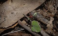 Habronestes bradleyi (dustaway) Tags: nature australia nsw arthropoda arachnida araneae araneomorphae australianspiders northernrivers zodariidae habronestes naughtonsgap meatantmimicspider habronestesbradleyi