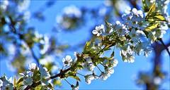 ACHOO (Sue90ca A Warm Weekend Ahead?) Tags: white tree canon blooms 6d
