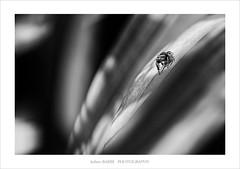 (~julien~) Tags: spider araigne 6d 2016 salticidae saltique ef180mmf35lusmmacro julienbarbe julienbarbe
