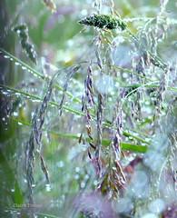 Tout le charme de la pluie (clairetresse) Tags: france drops nord hautes sauvage herbes isre gouttelettes