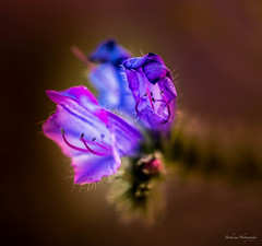 Wild flower 5 (Bouhsina Photography) Tags: wild flower color macro fleur canon wow bokeh morocco maroc marruecos extrieur couleur ttouan sauvage tetuan 2016 brillant ef10028 bouhsina souani 5diii bouhsinaphotography
