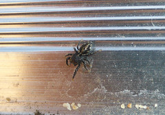 Unknown Beach Salticid (tessab101) Tags: brown black beach yellow gold spider jumping arachnid small australia nsw markings salticid salticidae bilgola maculatus bianor
