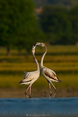 "LOVE DANCE "" Greater Flamingos "" (Irtiza Bukhari) Tags: pakistan two love nature colors beauty photography photographer dusk wildlife pair flamingo ngc he dslr bukhari courtship natgeo wildbird discovry irtiza irtizabukhari"