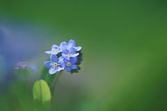 Forget-Me-Not (lfeng1014) Tags: flower macro closeup spring dof bokeh depthoffield forgetmenot macrophotography lifeng canon5dmarkiii 100mmf28lmacroisusm