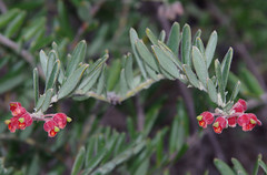 Grevillea saccata, Kings Park, Perth, WA, 30/04/16 (Russell Cumming) Tags: plant perth kingspark westernaustralia grevillea proteaceae grevilleasaccata