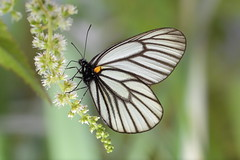 Aporia genestieri insularis  (YoyoFreelance) Tags: aporia insularis   genestieri