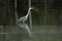 Hron cendr (Passeret) Tags: heron pond berry pentax bigma ricoh tang hron etang k3 sigma50500 heroncendre hroncendr brenne rgioncentre