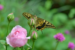 Swallowtail butterfly in my garden (myu-myu) Tags: nature rose japan butterfly insect nikon mygarden  swallowtail d800   papiliomachaon