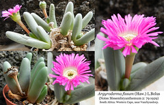 Argyroderma fissum (collage) (Succulents Love by Pasquale Ruocco (Stabiae)) Tags: southafrica succulent mesembryanthemum mimicry succulents stabiae mimetismo piantegrasse aizoaceae succulente mesembryanthemaceae cactusco argyroderma mesembs fissum pasqualeruocco mesembryanthema succulentslove forumcactusco