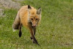 Runny nose {Explored} (ChicagoBob46) Tags: fox yellowstonenationalpark yellowstone redfox