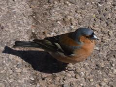 finch (Diana Baram) Tags: fauna germany