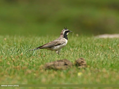 Horned Lark (Eremophila alpestris) (gilgit2) Tags: pakistan birds fauna canon geotagged wings wildlife feathers tags location species tamron category avifauna eremophilaalpestris shandur ghizer gilgitbaltistan hornedlarkeremophilaalpestris imranshah canoneos7dmarkii tamronsp150600mmf563divcusd gilgit2