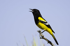 Scott's Oriole - male (603_3307-1) (Eric SF) Tags: oriole bestpractices scottsoriole