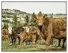 cows (imageseekertoo (Wendy Elliott)) Tags: ranch animals farm branding farmersfield springbranding wendyelliott wendyelliottphotographs wendyelliottphotography