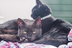 IMG_4122 (BalthasarLeopold) Tags: pet cats pets animal animals cat blackcat mammal kitten feline dof kittens felines blackcats indoorcat dephtoffield