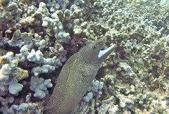 Eel3 (AZDropTop) Tags: eel kona hawaii big island scuba yellow tang two step