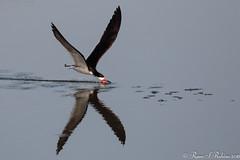 Rubino Black Skimmer fishing 20160626 Bolsa Chica Ecological Reserve 068 (Ryan Rubino) Tags: rynchops niger black skimmer skimming fishing flight ca