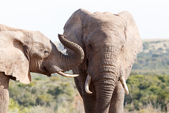 I slap - African Bush Elephant (charissadescande) Tags: park travel wild elephant game male nature animal southafrica addo mammal big bush natural african wildlife large reserve conservation safari national trunk endangered easterncape tusk zaf