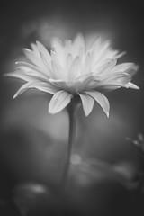 Flower (Kajfash) Tags: flowers blackandwhite flower macro blackwhite bokeh kwiaty kwiat czarnobiae canoneos5dmarkii canonef100mmf28lmacroisusm