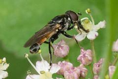 Hoverfly- Tropidia scita (linanjohn) Tags: uk macro nature wildlife insects lincolnshire syrphidae diptera hoverflies eristalinae xylotini tropidiascita