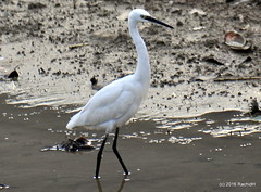 DSC_0990 (rachidH) Tags: nepal lake nature birds pokhara fewa phewa oiseaux egrets littleegret egrettagarzetta aigrettegarzette rachidh