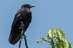 Crow Germany May 2016 (jgsnow) Tags: bird crow corvid